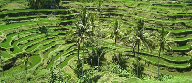 terasele de orez tegallalang bali