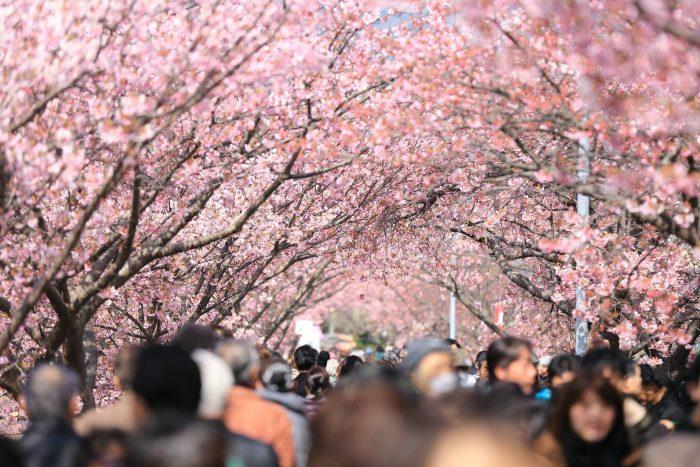 sakura festivalul ciresilor infloriti japonia